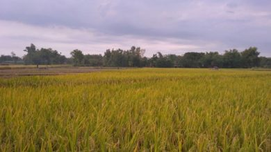 Photo of Kabupaten Ngawi Peringkat Keenam Produsen Beras Tertinggi di Indonesia