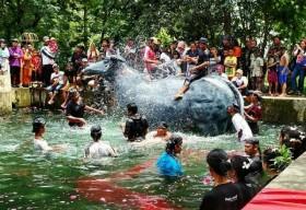"""Kebo Ketan Di""""Guyang"""" di Sendang Marga setelah dikeluarkan dari kandang dan diarak dengan iringan musik trethek, Sekaralas, Widodaren, Sabtu (02/12). Foto-Heru Soepranoto"""