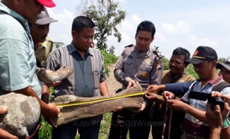Tulang yang Ditemukan di Desa Rejuno Dipastikan Adalah Fosil Gajah Purba