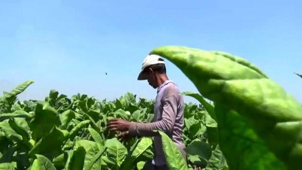 Petani Tembakau Ngawi Diuntungkan Kondisi Kemarau Panjang